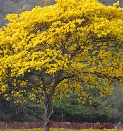 69 años como el Árbol Nacional de Venezuela, cumple El Araguaney