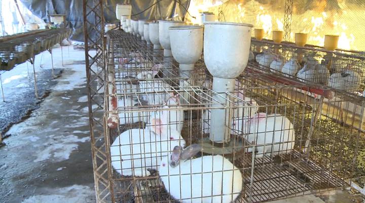 A falta de res, bueno es conejo, para paliar el alto costo de la carne en Venezuela