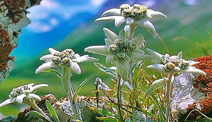 La flor de Edelweiss es conocida como flor de las nieves